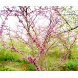 Церцис канадский (багрянник, иудово дерево)