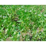 Пажитник (грибная трава)